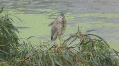 The striated heron Butorides striata, mangrove heron in pond Stock Footage