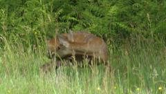 Roe Deer (Capreolus capreolus) ejecting after birth Stock Footage