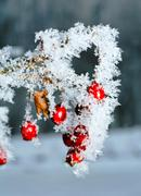 Stock Photo of Rime covered rosehip