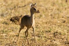 Gunthers dikdik Madoqua guentheri Samburu National Reserve Kenya Africa - stock photo