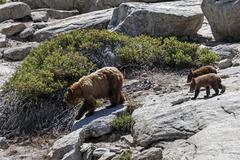 Brown bear Ursus arctos mother with two cubs walking over rocks Sentinel Dome Stock Photos