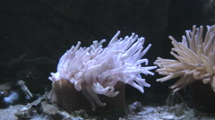 Sea anemone with moving tentacles Stock Footage