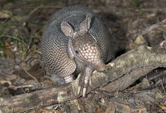 Nine banded Armadillo Dasypus novemcinctus adult foraging at night Brazos Bend - stock photo
