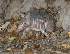 Nine banded Armadillo Dasypus novemcinctus adult stepping out of its burrow at Stock Photos