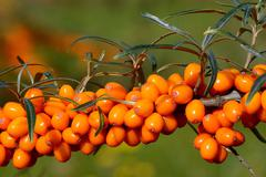 Sea Buckthorn Hippophae rhamnoides fruits Scania Sweden Europe Stock Photos