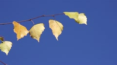 Birch branch with yellow leaves swaying on the background of blue sky Stock Footage