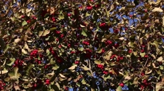 Hawthorn bush with ripe berries Stock Footage
