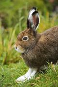Arctic hare Lepus timidus Varronis moulting Canton of Schwyz Switzerland Europe Stock Photos
