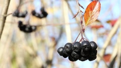 bunch of ripe Aronia berry with leaf swaying on the wind - stock footage
