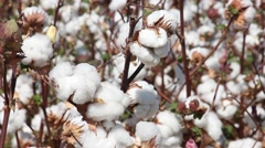 Transfer focus from cotton boll to the cotton field, Uzbekistan Stock Footage