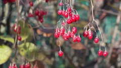 Bunch of ripe viburnum berry swaying on the wind Stock Footage