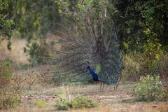 Stock Photo of Indian peafowl or blue peafowl Pavo cristatus adult peacock spreading feathers