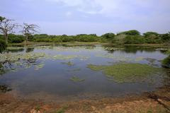 Waterhole with water lilies Nymphaeaceae flowering Bundala National Park Sri - stock photo