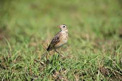 Orient skylark Alauda gulgula adult alert in the grass Bundala National Park Stock Photos