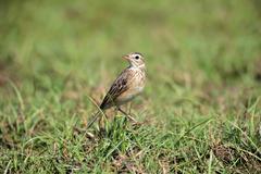 Stock Photo of Orient skylark Alauda gulgula adult alert in the grass Bundala National Park