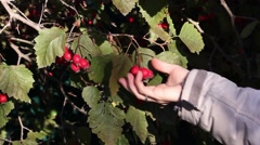 Girl picking ripe hawthorn berries from the bush, closeup Stock Footage