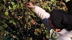 Girl picking ripe hawthorn berries from the bush Stock Footage