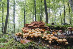 Conifer Tuft Hypholoma capnoides in autumnal forest Hesse Germany Europe Stock Photos