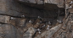 Kittiwakes Nesting Below Overhang on Bird Cliff in Arctic Stock Footage