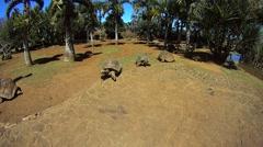 Mauritius Giant Tortoise Stock Footage