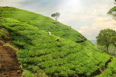 Tea plantation hills Stock Photos