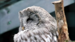 close up owl Strix nebulosa, Bartkauz - stock footage