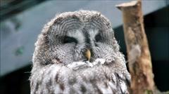 Stock Video Footage of close up owl Strix nebulosa, Bartkauz