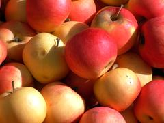 apples in orchard - stock photo