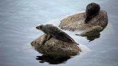 Two Seals Sitting On Rocks Monterey California Stock Footage