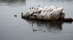 Seals Pelicans Cormorants On And Around Rocks Stock Footage