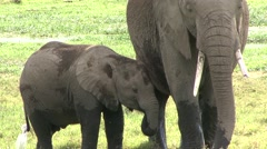 African Elephant baby drink from mother in swamp in Amboseli  Stock Footage