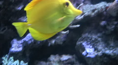 Yellow Butterfly fish Stock Footage