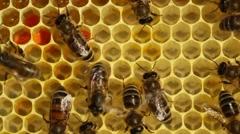 Stock Video Footage of Bees build honeycombs