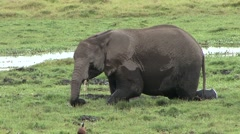 African Elephant feeding in swamp in Amboseli  Stock Footage
