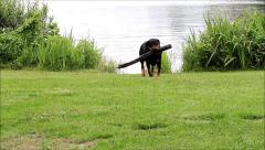 Dog rottweiler playing at lake with a stick Stock Footage