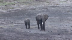 African Elephant female and baby having a dust bath in Amboseli  Stock Footage
