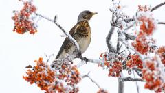 Thrush siting on the rowanberry tree in winter Stock Footage