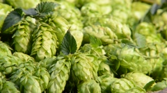 Detail of hop cones in the wicker basket,zoom out Stock Footage