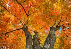 Stock Photo of Upward view of a big autumn maple tree