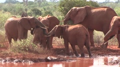 African Elephant herd drinking water in waterhole in Tsavo East  Stock Footage