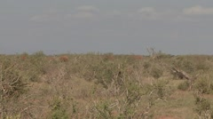 African Elephant herd walking through bush in Tsavo East  Stock Footage