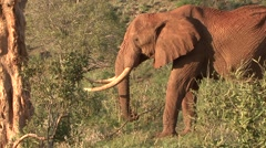 African Elephant male chewing on stick in bush in Tsavo East  Stock Footage