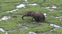 African Elephant male feeding in swamp in Amboseli Stock Footage