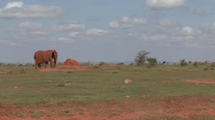 African Elephant male feeding on grass plains beside Somali Ostrich in Tsavo Stock Footage