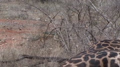 Black-backed Jackal walk in bush in Tsavo East  Stock Footage