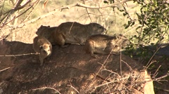 Bush Hyrax family rest on stone under tree in Tsavo West  Stock Footage
