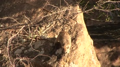 Bush Hyrax youngser walk down on rocks in Tsavo West  Stock Footage