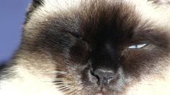 Siamese cat closeup - stock footage