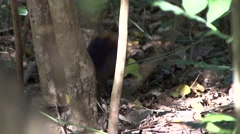 Golden-rumped Elephant Shrew foraging in bush Stock Footage