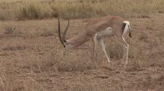 Grant's Gazelle male feeding in Amboseli 1 Stock Footage